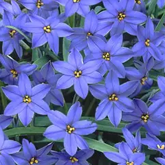 ipheion uniflorum 'jessie'
